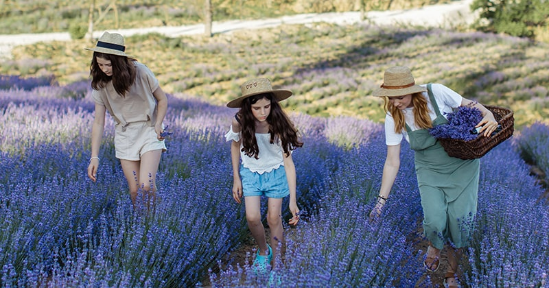 Mother and daughters picking lavender