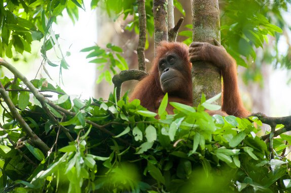 Orangutans SOS logo